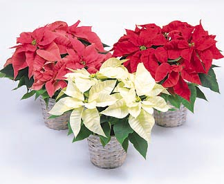 Gift Size Poinsettia in Basket (Christmas)